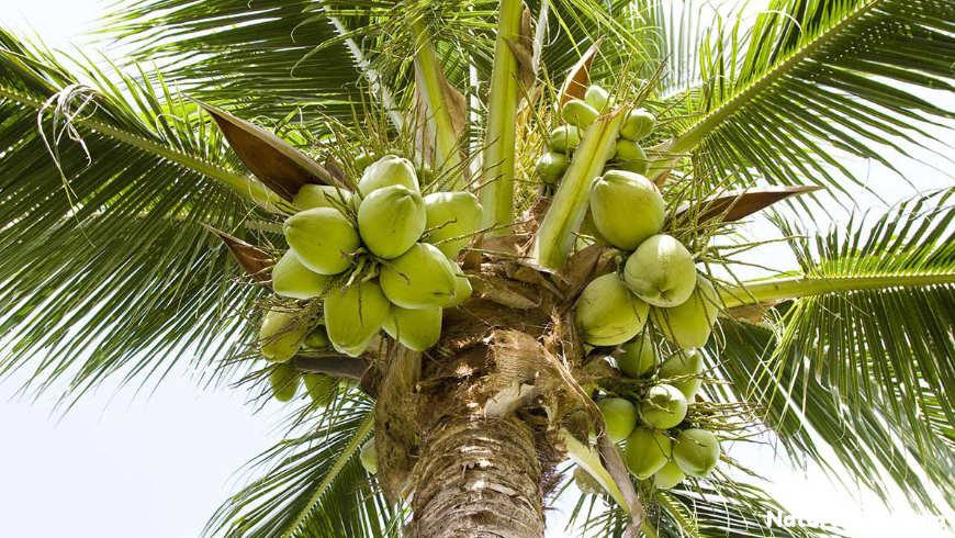 pianta cocco noci