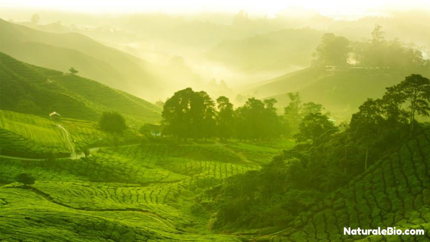 piantagione tè matcha