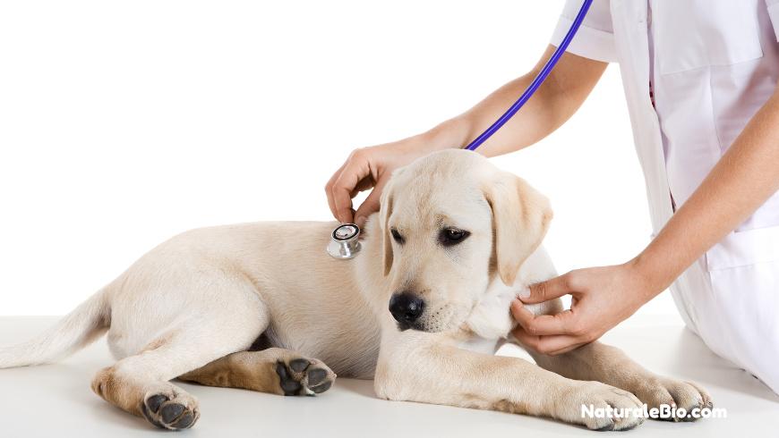 Miele di Manuka in ambito veterinario