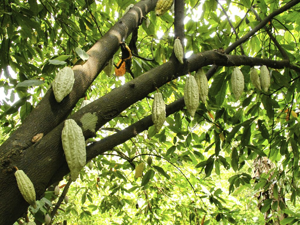Theobroma Cacao: la pianta