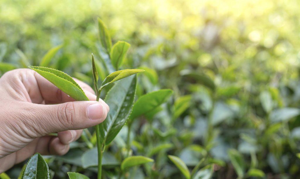 Come viene coltivato il tè Matcha