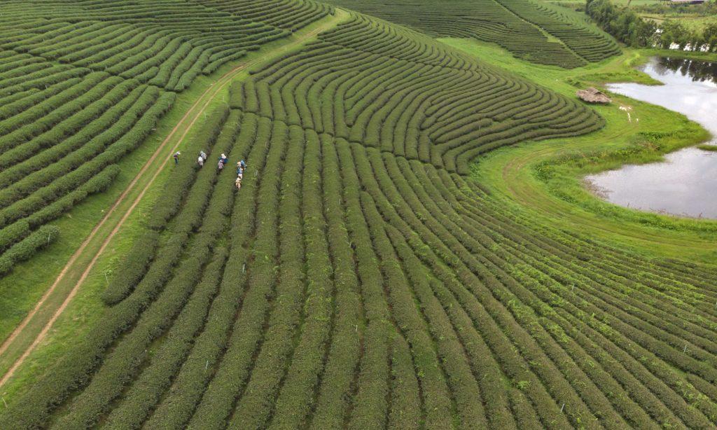 Dove viene coltivato il tè Matcha