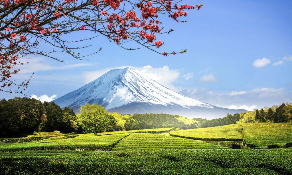 Tè Sencha, come viene coltivato